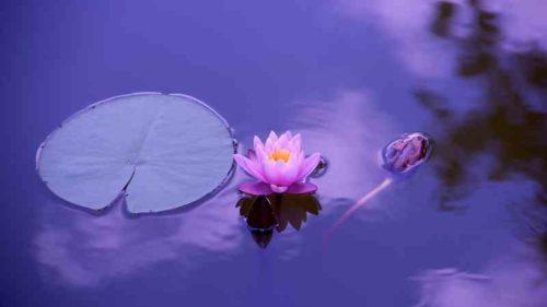 心が落ち着く蓮の花